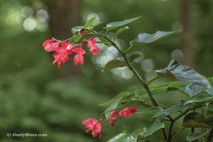 Scarlet Blossom print