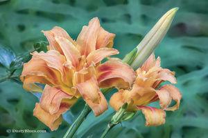 Peach Lily print