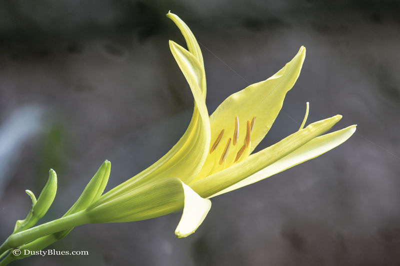 Gilted Lily