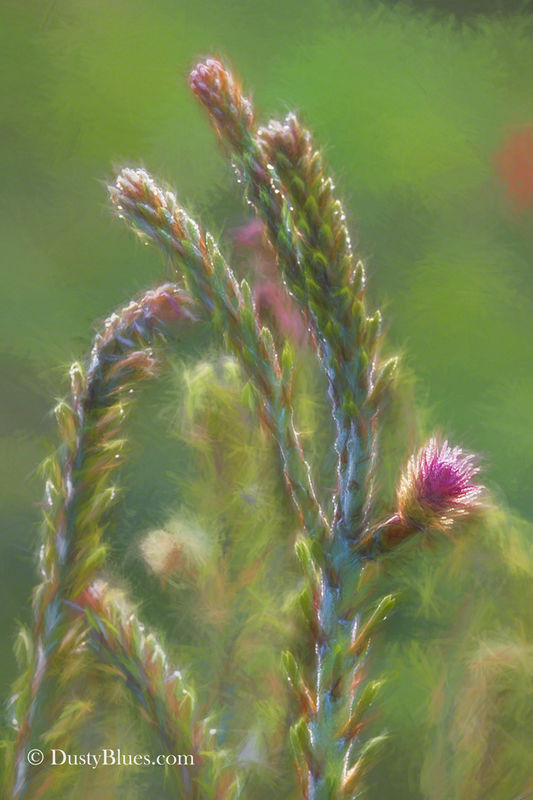 Pine Bloom print
