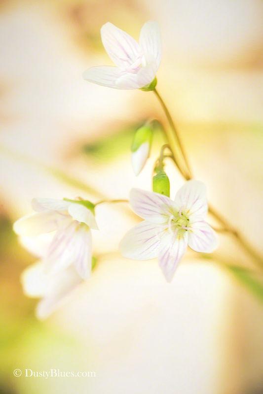 Spring Beauty print