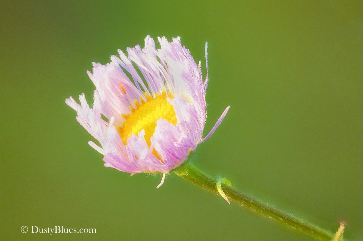 The delicacy and colorful beauty of this miniature flower glowing at first light, dew still glistening on the dainty petals just...