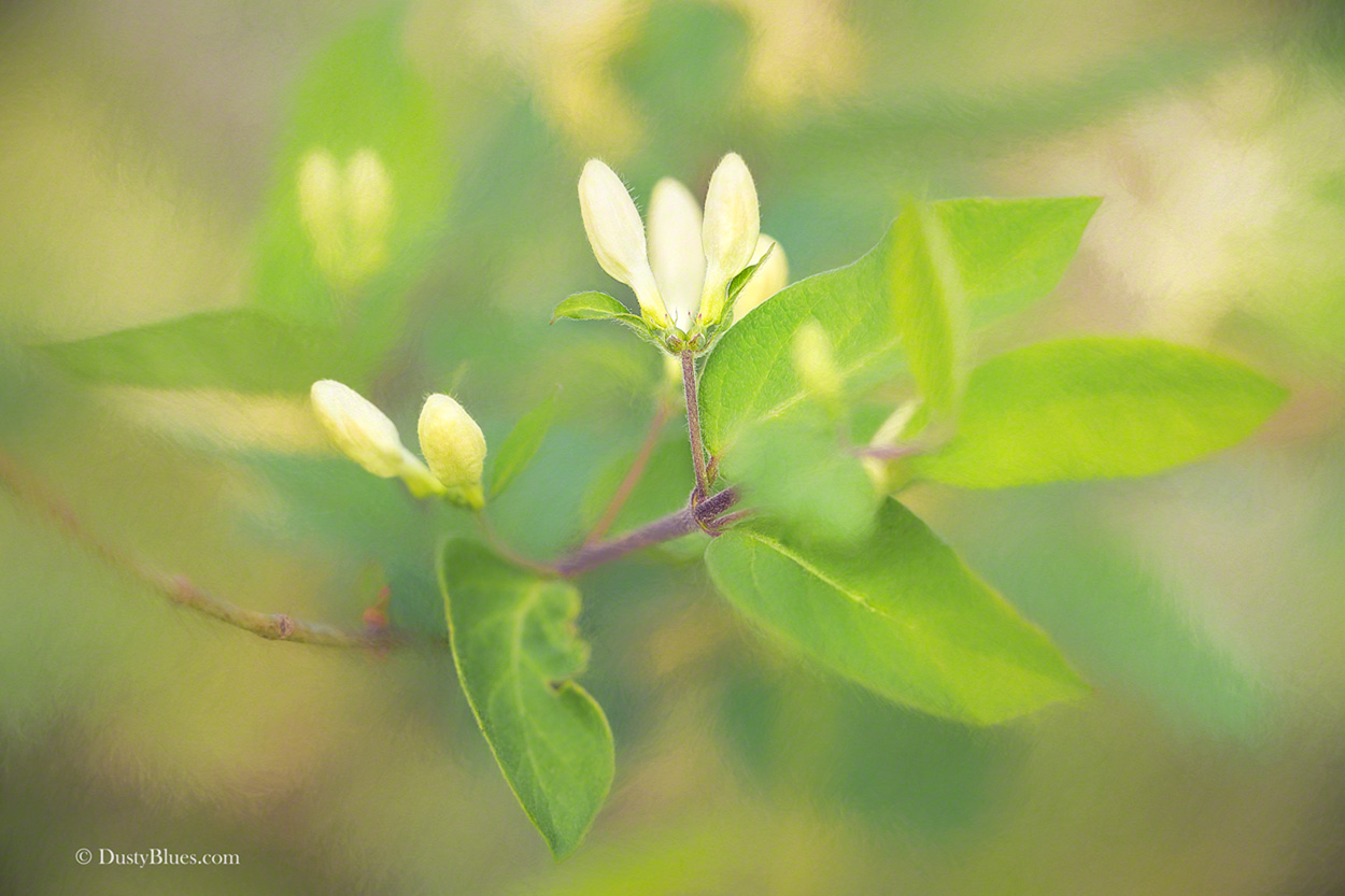 The delicate buds of this flowering tree with a soft glowing background shows the magic that Mother Nature  bestows on her subjects...
